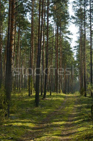 Tűlevelű fa tájkép kicsi út mély Stock fotó © taden