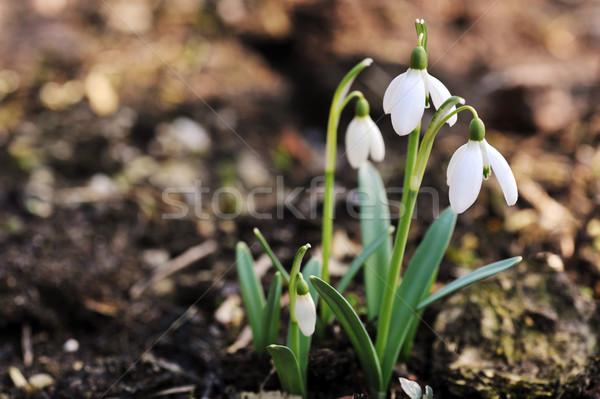 Fleurs fraîches augmenté nature feuille vie Photo stock © taden