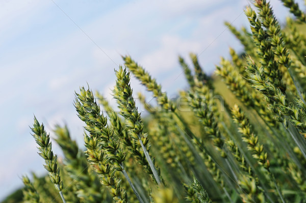 Búzamező búza termés növény végtelen mező Stock fotó © taden