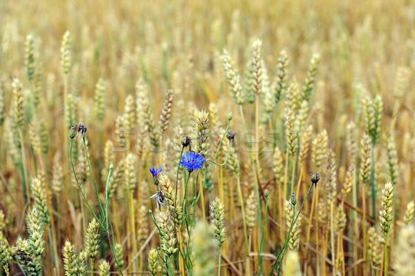 Búzamező nyár nap virágok étel nap Stock fotó © taden