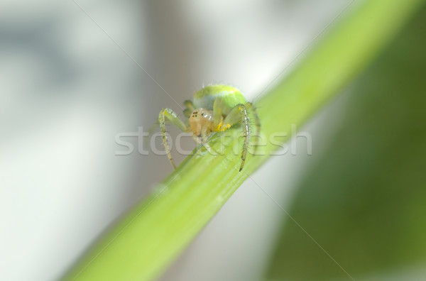 green spider on the spray Stock photo © taden