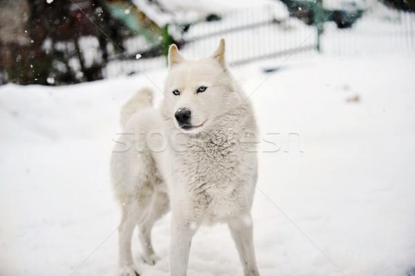 Nagy kutya játszik egészséges tél nap Stock fotó © taden