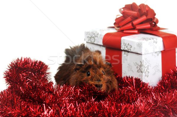 Kahverengi kobay kırmızı çelenk hediye gıda Stok fotoğraf © taden