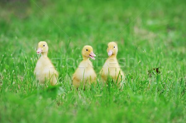 Trzy puszysty pisklęta zielona trawa trawy dziecko Zdjęcia stock © taden