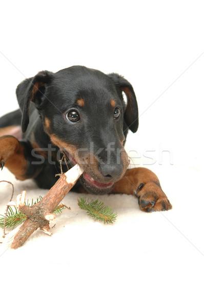 Cãozinho jogar vara madeira Foto stock © taden