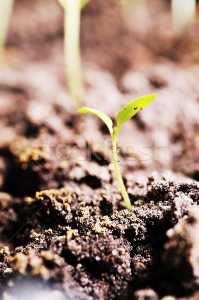 芽 トマト 地球 フィールド 緑 汚れ ストックフォト © taden