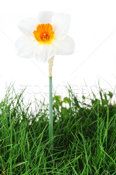 one blossoming narcissus Stock photo © taden