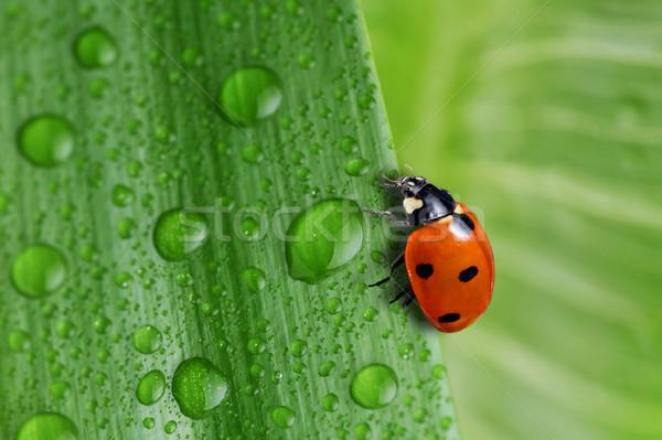 明るい 緑色の葉 水滴 水 工場 ストックフォト © taden
