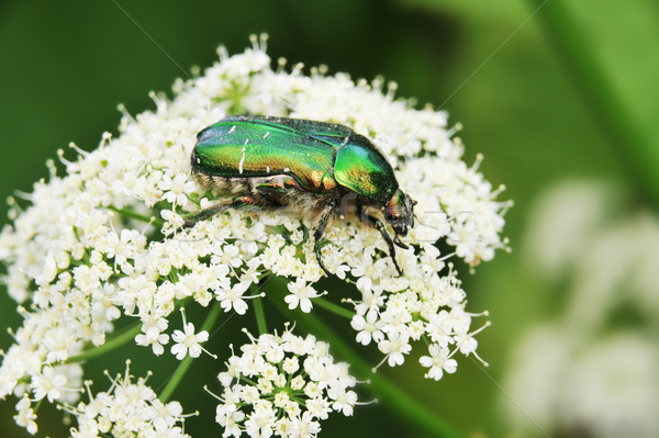 бронзовый жук макроса цветок трава Сток-фото © taden