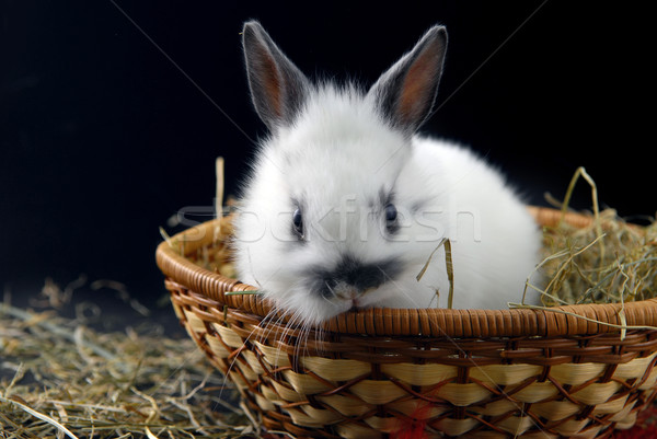 small rabbit in basket Stock photo © taden
