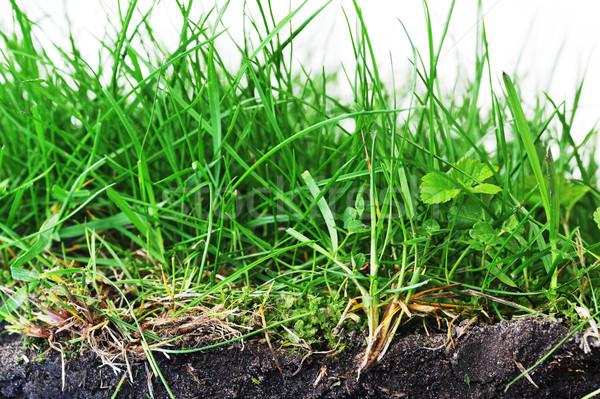 young grass Stock photo © taden