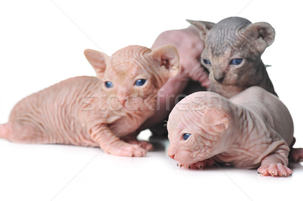 cute bald baby cats close up Stock photo © taden