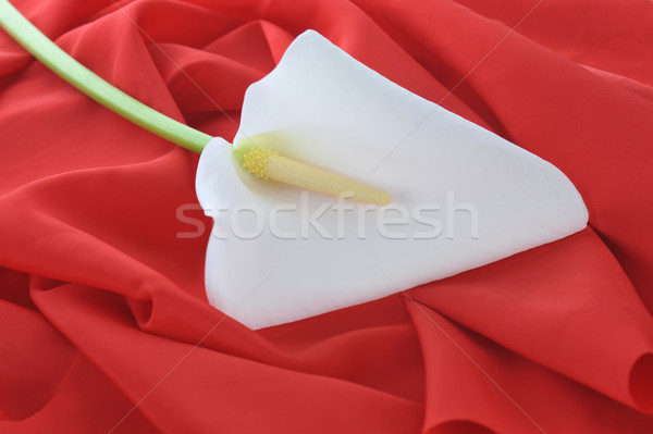 Witte lelie Rood bevallig weefsel Stockfoto © taden