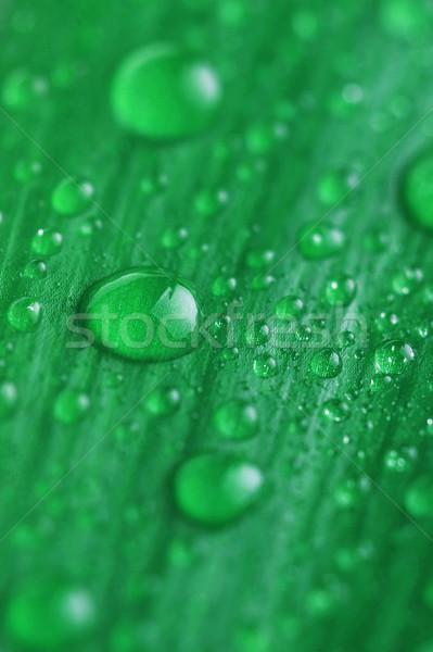 Jasne zielony liść kropla wody wody roślin Zdjęcia stock © taden
