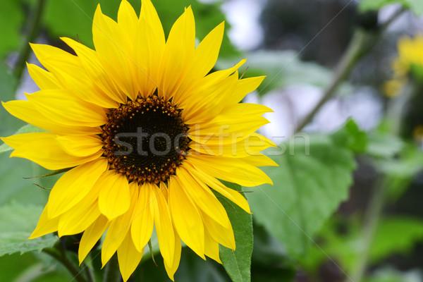 Gyönyörű napraforgók nagy növekvő kert nyár Stock fotó © taden