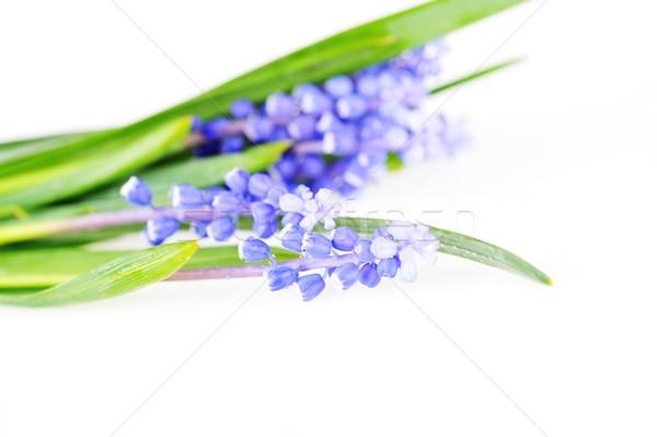 Foto stock: Azul · primavera · flores · cabeça · planta
