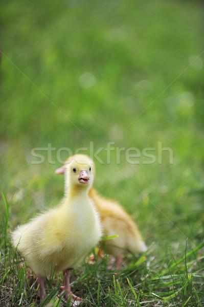 2 ふわっとした 雛 緑の草 草 子 ストックフォト © taden