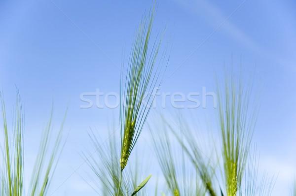 Rozs égbolt étel fű egészség kenyér Stock fotó © taden