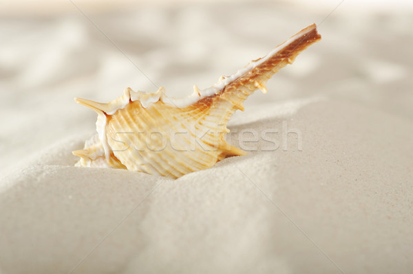cockleshell on sand Stock photo © taden