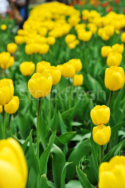 żółty tulipany ilość typowy krajobraz Zdjęcia stock © taden