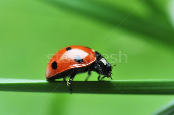 Joaninha grama vermelho joaninha sete preto Foto stock © taden