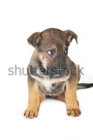 brown dog Stock photo © taden