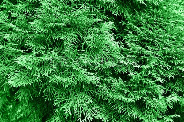 green thuja Stock photo © taden