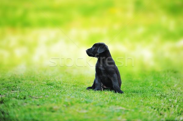 Stok fotoğraf: Küçük · siyah · köpek · yeşil · çim · bahar