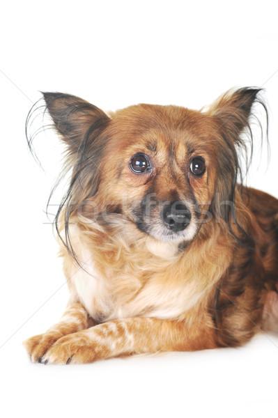 коричневая собака волос животные студию красивой Сток-фото © taden