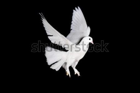 Witte duif hand mooie vrouwelijke Stockfoto © taden
