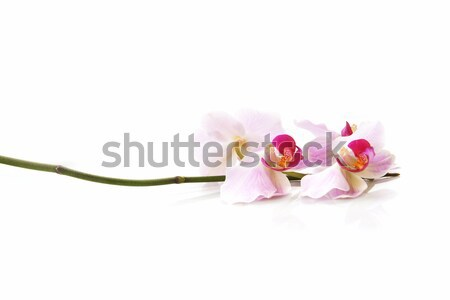 pink orchid  Stock photo © taden