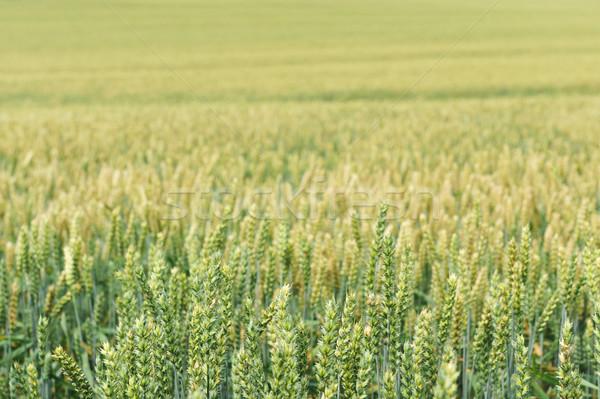 Campo de trigo trigo planta campo Foto stock © taden