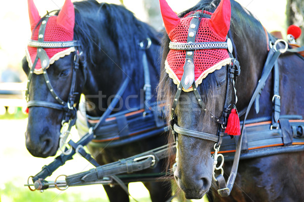 horses Stock photo © taden