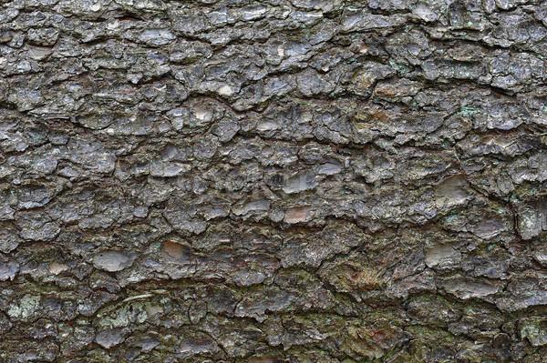 árvores casca pinho árvore fundo Foto stock © taden