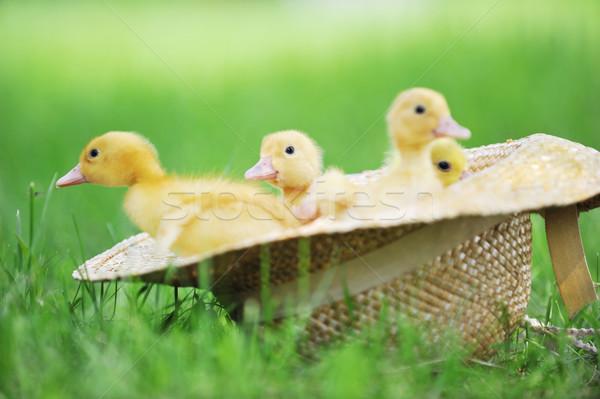 Pluizig drie cute vergadering strohoed gras Stockfoto © taden