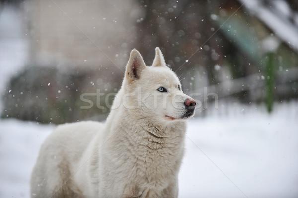 Grande perro blanco pie nieve invierno Foto stock © taden