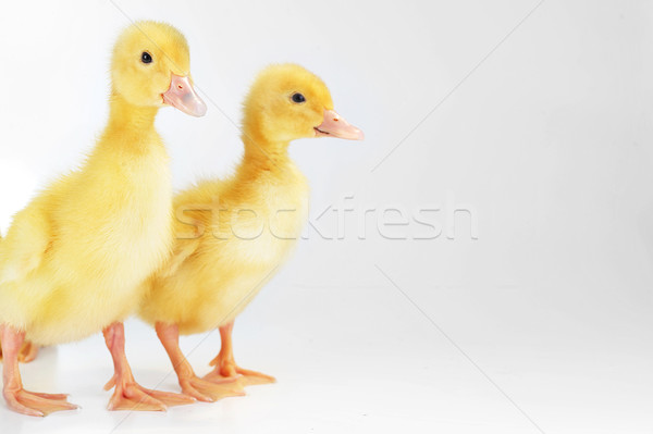 yellow fluffy ducklings  Stock photo © taden