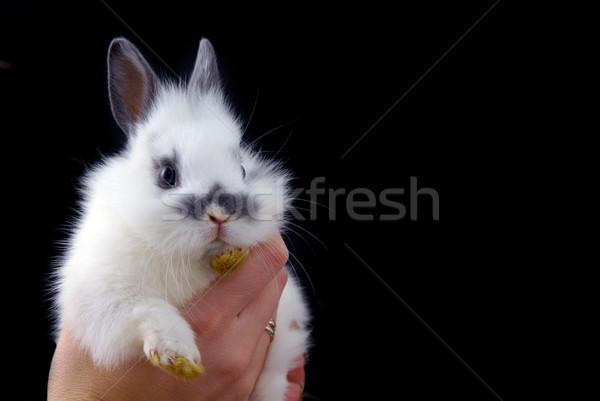 hadns holding small rabbit Stock photo © taden