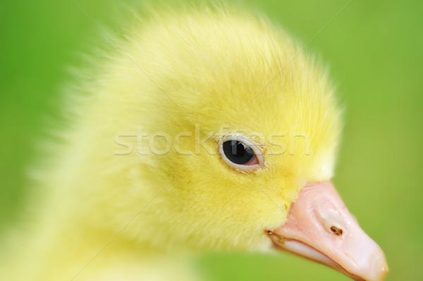 Cute soffice chick 7 giorni vecchio Foto d'archivio © taden