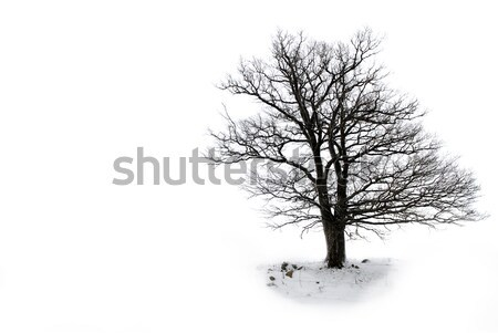 lone tree without leaves  Stock photo © taden