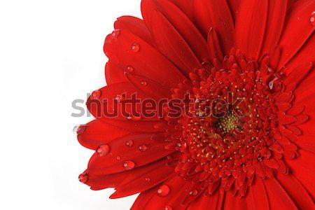 Rojo flor primavera naturaleza verano Foto stock © taden