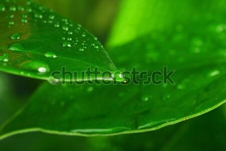 Jasne zielone liście zielony liść kropla wody wody Zdjęcia stock © taden