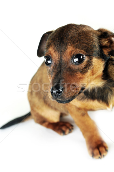 коричневая собака Cute сидят волос животные студию Сток-фото © taden