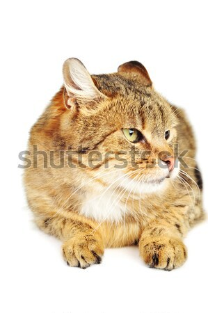 Gato doméstico cute aislado gato pelo retrato Foto stock © taden