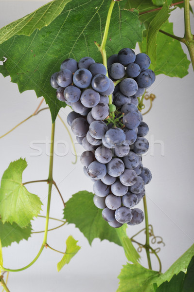 cluster fresh grape Stock photo © taden