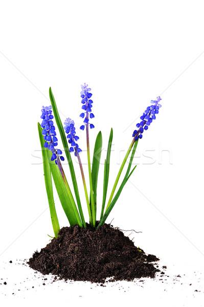 Kék föld izolált fehér virágok tavasz Stock fotó © taden
