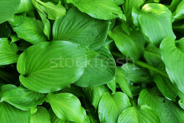 Yeşil yaprakları bitki yaprak yaz uzay Stok fotoğraf © taden