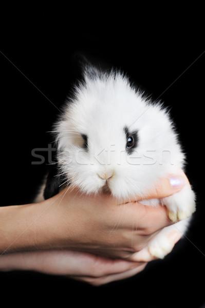 white rabbit in hands Stock photo © taden
