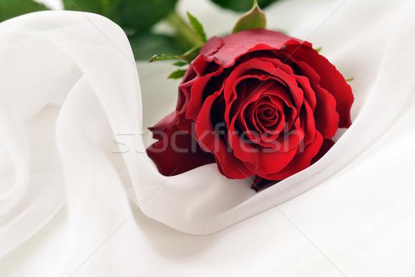 ストックフォト: 赤いバラ · 白 · シルク · 孤立した · 光 · 工場