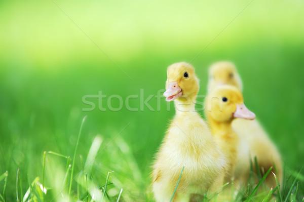 üç kabarık civciv yeşil ot çim çocuk Stok fotoğraf © taden
